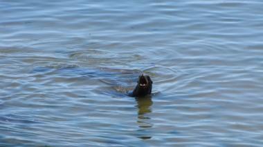 Sea Lion Barking