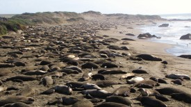 Lots of Elephant Seals.