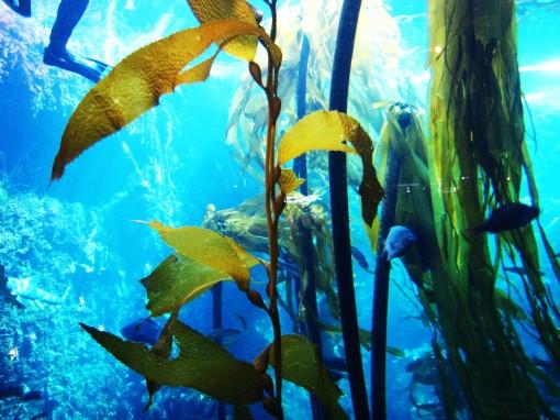 Kelp.