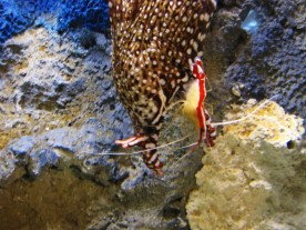 Cleaner shrimp and eel.