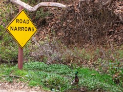 Ducks and Road Narrows