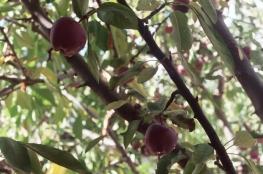 Baby Apples.