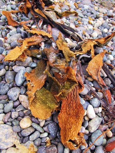 TheColorsOfKelp