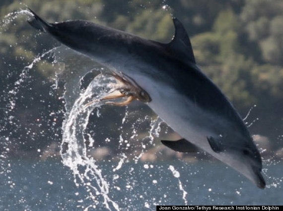 Octopus Hitches a Ride on a Dolphin's Private Parts (1/2)