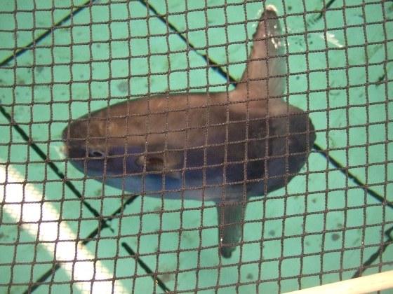 Baby Mola