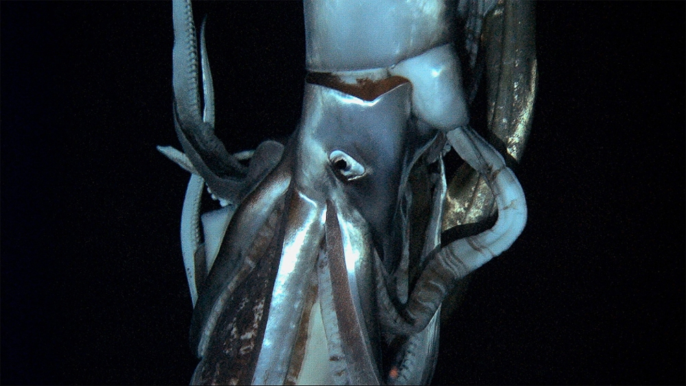 LIVE Giant Squid Caught on VIDEO! (2/3)