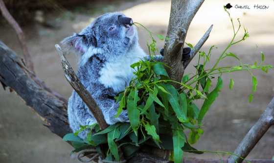 KoalaFood