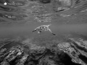 hawksbill sea turtle, ocean, puerto rico, rincon, steps beach